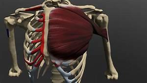 Pectoralis Anatomy