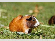 Meerschweinchen – Tierportal animalsdigitalde
