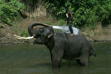 melacak gajah  sumatera selatan   kondisinya