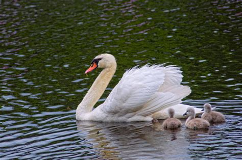 The swan's neck curves into an 's' shape, unlike the goose's swans have a predominantly white color, but geese differ in different hues of brown, black, and greys. Carol's View Of New England: Showdown: Swan vs Goose