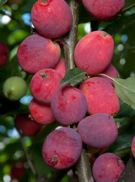 are ornamental plums edible edible crabapple trees bing images