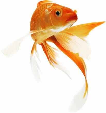 Fish Goldfish Clipart Bowl Water Pond Transparent