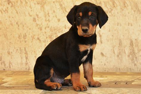 transylvanian hound history temperament care training