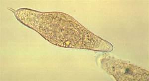Schistosoma Spp