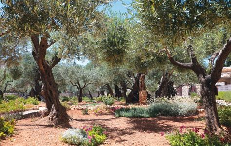 Garden Of Gethsemane Bible by Follow Me Three Gardens With One Purpose Now The Next