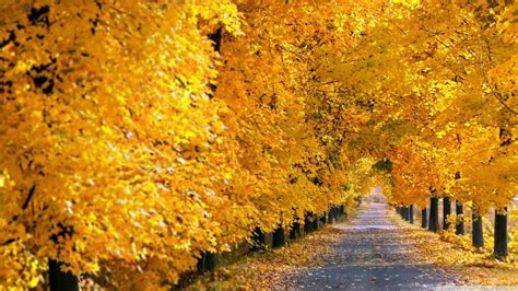 Fall Backgrounds Yellow by Autumn Yellow Leaves Road Tree Wallpaper Baltana