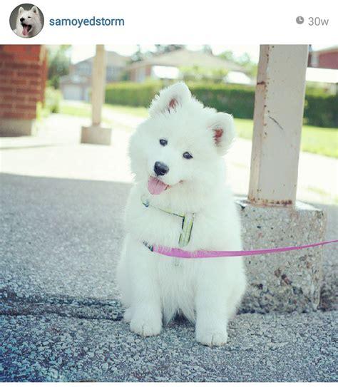 Samoyed Puppy Samoyed Cuties Samoyed Cute Dogs