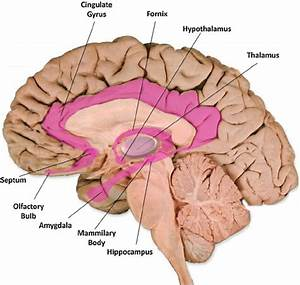 Limbic System Structures  The Various Structures Of The