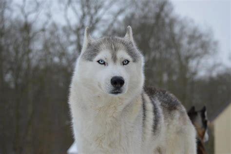 husky blanc le husky siberien