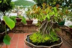 Gummibaum Verliert Blätter : gummibaum bekommt rote bl tter woran kann 39 s liegen ~ Lizthompson.info Haus und Dekorationen