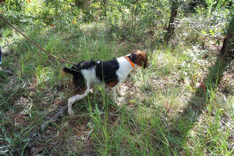 French Brittany dog for a walk photo and wallpaper ...