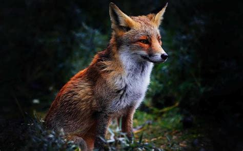 Animated Fox Wallpaper - 32 wonderful fox wallpaper images pics snaps pictures in hd