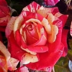 Rosier Tige Pas Cher : rosiers sur tige tronc 1 m tre de hauteur p pini res raffard ~ Dallasstarsshop.com Idées de Décoration