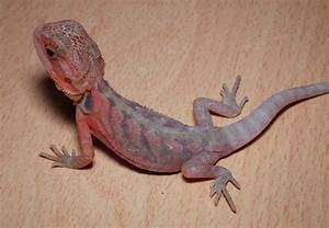 20 Bearded Dragon Morphs and Color Types (Common to Rarest ...
