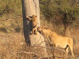 Lion cub and mother reunited. - YouTube