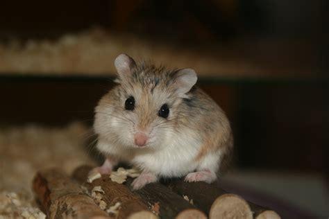 roborovski hamster file cute roborovski hamster jpg wikipedia