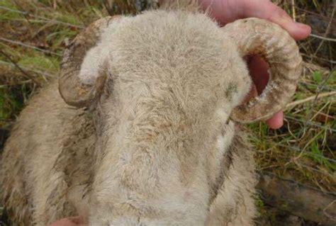 farmer  guilty  sheep blinded  horn farming