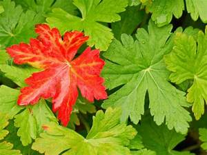 Geranium Leaves DIY