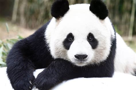 Say Cheese! Chinese Pandas Get Photo Op in Seoul - NBC News