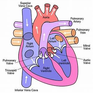 Diagram Of Human Heart And Blood Circulation In It