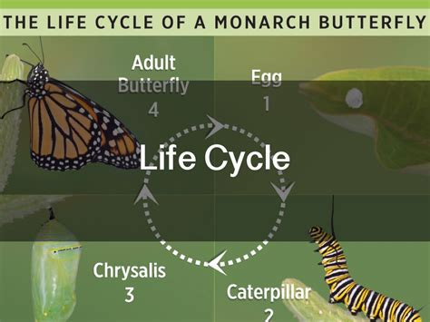 Lifespan Of A Monarch Butterfly Pictures To Pin On