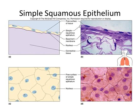 Introduction And Epithelial Tissues  Ppt Video Online