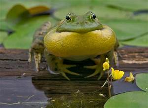 Bull Frog Croaking Photograph by Stephen Gingold