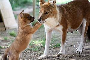 Dhole - Dogs we need to know