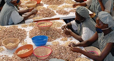 cashew nut central  guinea bissau economy  blessing