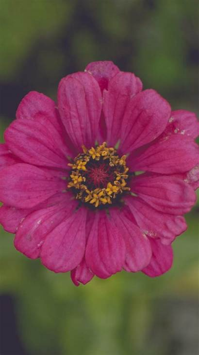 Petals Pink Flower Background Iphone 6s 2560