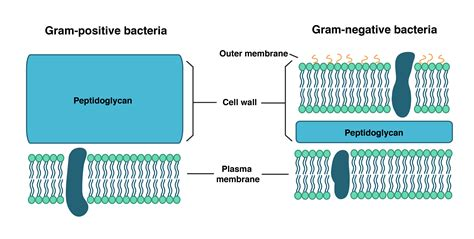 bacterial cell wall structure composition  types