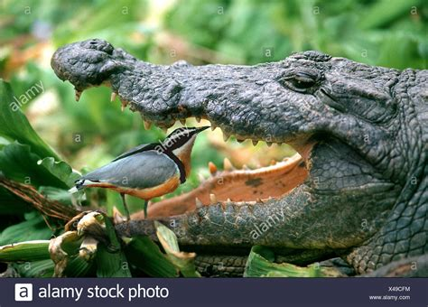Plover Bird Crocodile Stock Photos & Plover Bird Crocodile