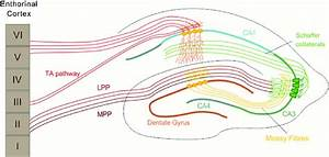 The Hippocampal Circuitry  The Dentate Gyrus  Dg  Receives Most Of Its
