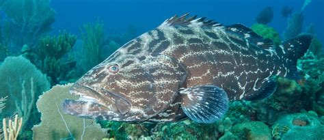 grouper florida charters myers fishing ft fl fish length weight