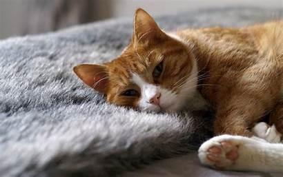 Cat Wallpapers Cool Sleeping Sleep Gold Cats