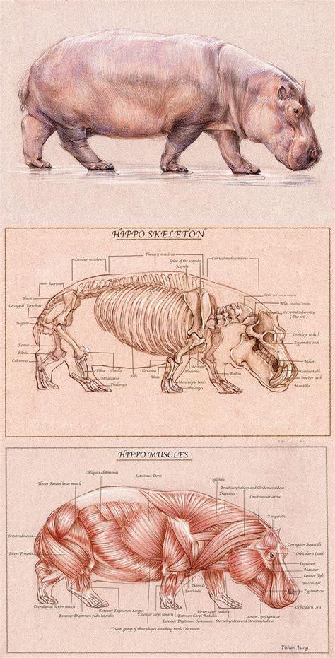hippo drawing  yishanjiangdeviantartcom  atdeviantart