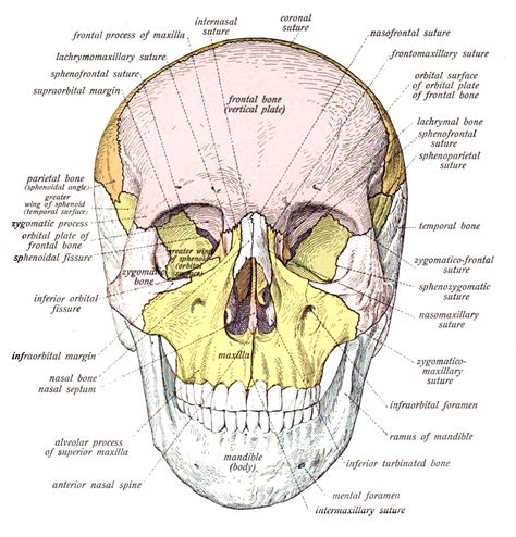 Diagram Of Part Of Human by 10 Interesting Facts About The Human Skeletal System In
