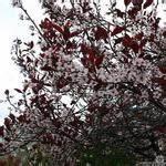 Photinia Fraseri Robusta Compacta : photinia fraseri red robin groeisnelheid tuinadvies ~ Buech-reservation.com Haus und Dekorationen