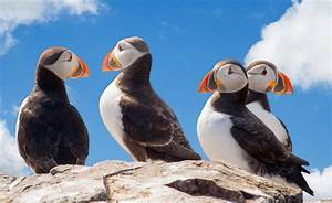 Climate Change Killing Off Bering Sea Puffins  Say Scientists