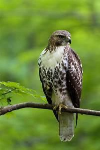 Hawk, Perched, In, Tree, Royalty
