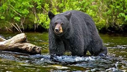 Bear Animals Computer Hunting Desktop Russian Russia
