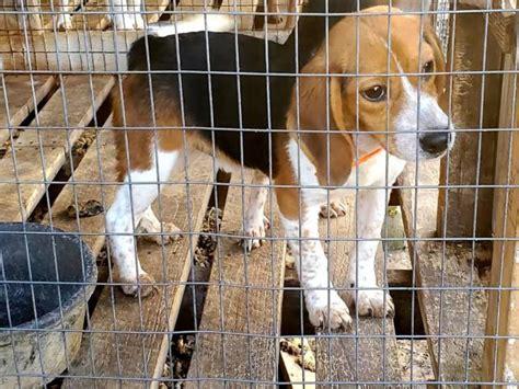 month  male beagle puppies  sale  nashville