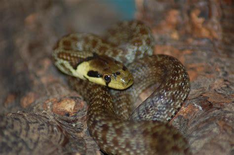 SW England Aesculapian snakes - Reptile Forums