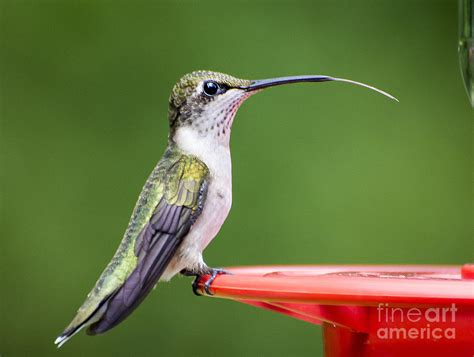 hummingbird sticky her tongue out photograph by tj baccari