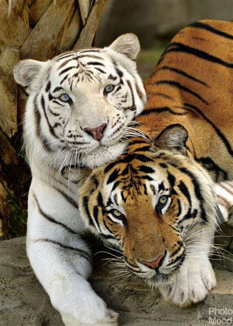 Tiger Photo Mood