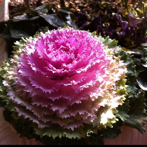 ornamental cabbage perennial 58 best images about ornamental cabbage on pinterest gardens cabbage roses and container