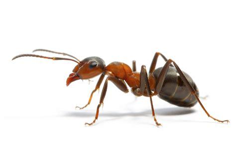 fourmis cuisine ants individual and colony superorganism leadership