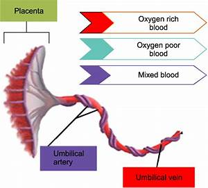 The Umbilical Cord Arranged In A Helical Structure