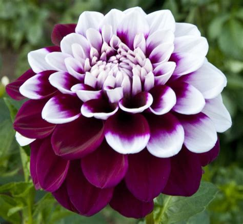 Dahlia  Decorative Dahlia Maroon And White Flower Of A