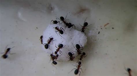 brown sugar ants eat pictures to pin on pinterest pinsdaddy